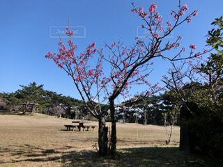空,花,屋外,青空,満開,素材,カンヒザクラ,寒緋桜