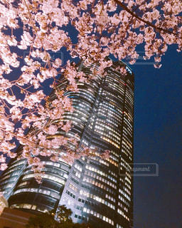 夜桜の写真・画像素材[1884641]