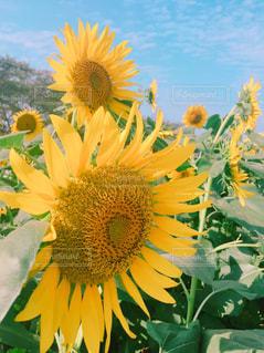 黄色い花のクローズアップの写真・画像素材[2383050]