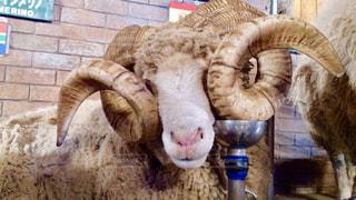 動物,羊,ひつじ,動物園,生き物,マザー牧場,PassMe