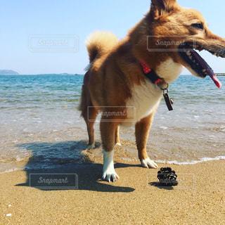 犬,海,屋外,散歩,ペット,遊ぶ,松ぼっくり
