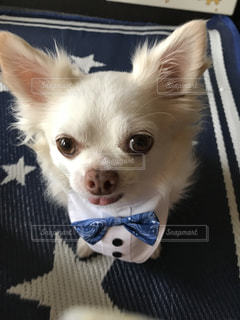 小さな白い犬の写真・画像素材[982610]