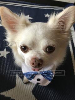 小さな白い犬の写真・画像素材[1209333]