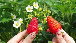イチゴを持っている手の写真・画像素材[1150817]