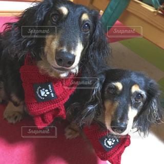 赤いマフラーを身に着けている犬の写真・画像素材[1683681]