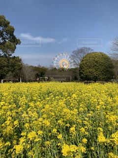春,花畑,観覧車,黄色,菜の花,熊本,動物園