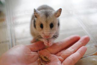 手の齧歯動物の写真・画像素材[721782]