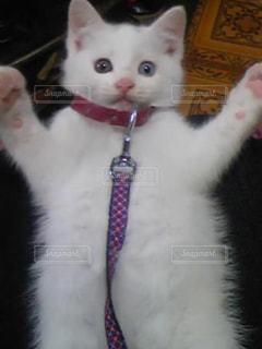 カメラにポーズを鏡の前で座っている猫の写真・画像素材[1286642]