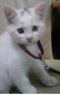 その口を開いて白猫の写真・画像素材[1286684]