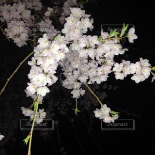 桜,夜,ピンク,花見,夜桜,桃色