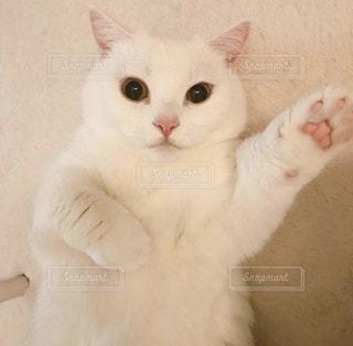 口を開けて白い猫の写真・画像素材[2293731]