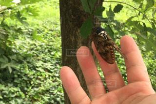 男性,夏,虫取り,夏休み,アブラゼミ,あぶら蝉