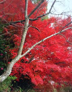 燃ゆる様な紅葉の写真・画像素材[892505]