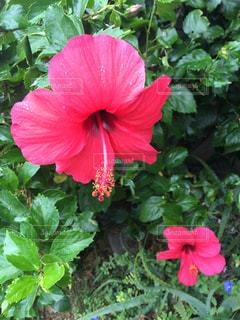 植物の赤い花の写真・画像素材[919108]