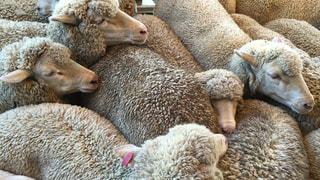 晴れた日に草を食べる羊のグループの写真・画像素材[875041]