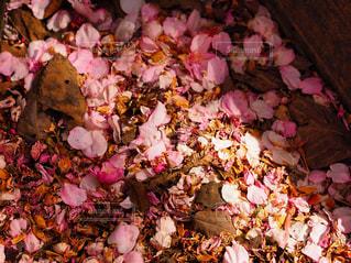 桜の写真の写真・画像素材[1126701]