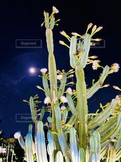 自然,風景,空,花,月,満月,サボテン,草木,夜の花,月のパワー,鬼面角