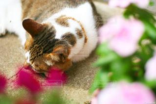 花の中、眠る猫 - No.722834