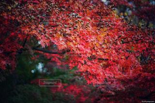 紅葉 - No.848000