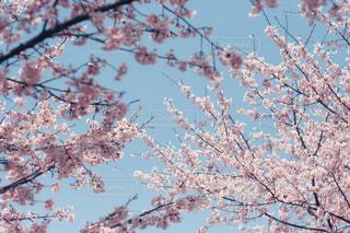 桜 × 青空 - No.1106689