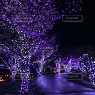 桜,夜,夜空,木,屋外,ピンク,紫,花見,夜桜,景色,樹木,イルミネーション