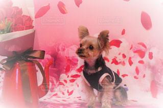 ピンク,リボン,バレンタインデー