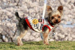 フリスビーをくわえて運ぶ茶色の犬 - No.1115699