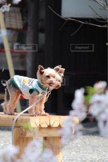着ぐるみを着た犬 - No.1115891