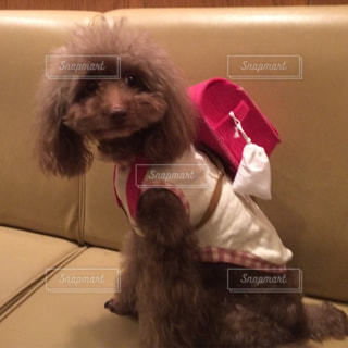 衣装を着て小さな茶色と白犬 - No.1139380