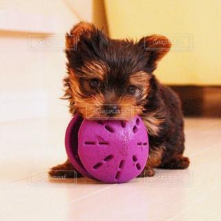 小型犬おもちゃで遊んで - No.1140600