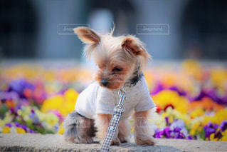 小型犬おもちゃで遊んで - No.1184760