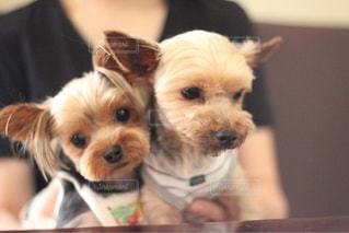 カメラを見て、小さな茶色と白犬 - No.1184771