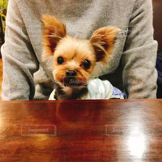 テーブルの上に座って、小さな茶色と白犬 - No.1229794