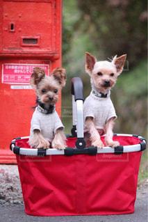 バスケットに小さな犬の写真・画像素材[1262101]