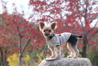 空気中のジャンプ犬の写真・画像素材[1262144]