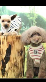カメラを見て茶色と白犬の写真・画像素材[1262532]