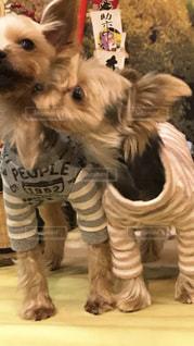 茶色と白の小型犬の写真・画像素材[1262535]