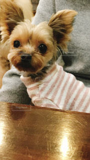 茶色と白の小型犬の写真・画像素材[1262537]