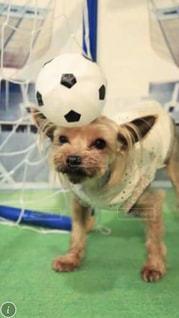 着ぐるみを着た犬の写真・画像素材[1293220]
