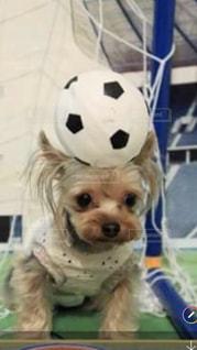 茶色と白の小型犬の写真・画像素材[1293222]