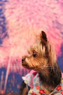 カメラを見て小型犬の写真・画像素材[1311387]
