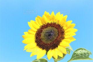 近くに黄色い花のアップの写真・画像素材[1312477]