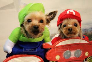 赤い帽子をかぶった犬の写真・画像素材[1317652]