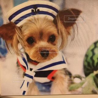 衣装を着て小さな茶色と白犬の写真・画像素材[1329936]