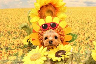 黄色の花とテディベアを保持している犬の写真・画像素材[1370206]