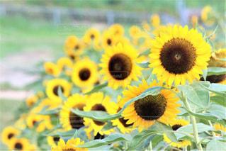 近くの花のアップの写真・画像素材[1370216]