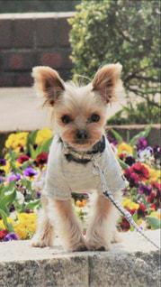茶色と白の小型犬の写真・画像素材[1370655]