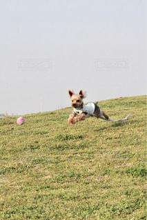 芝生のフィールドを走っている犬の写真・画像素材[1406232]