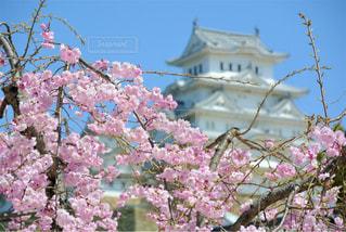 ピンクの花の木の写真・画像素材[1435490]