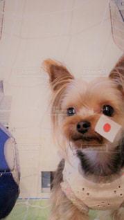 カメラにポーズを鏡の前で座っている犬の写真・画像素材[1509002]